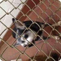 Chihuahua Dog for adoption in Waynesville, North Carolina - KAIT