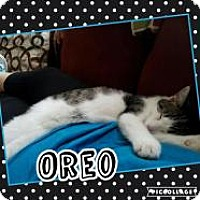 Domestic Shorthair Kitten for adoption in Greensburg, Pennsylvania - Oreo
