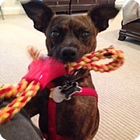 Miniature Pinscher Mix Dog for adoption in Atlanta, Georgia - Scotty