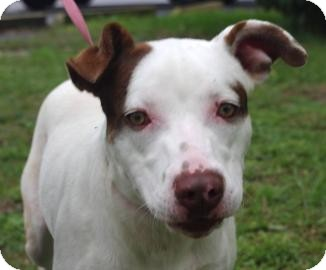 Pit Bull Terrier Mix Dog for adoption in Gainesville, Florida - Andi