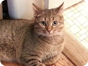Domestic Shorthair Cat for adoption in Mt. Prospect, Illinois - Sessu