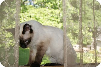 Siamese Cat for adoption in Trevose, Pennsylvania - Light
