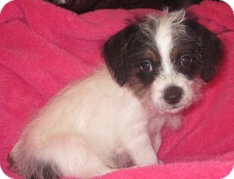 shih tzu mix rescue blossom adopted puppy rescue houston tx shih tzu mix 2710