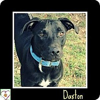 American Pit Bull Terrier Mix Dog for adoption in Eddy, Texas - Daxton