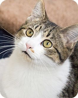 Domestic Shorthair Cat for adoption in Chicago, Illinois - Patricia