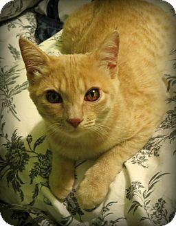 Domestic Shorthair Cat for adoption in La Canada Flintridge, California - Sophie & Olivia