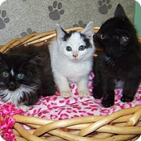 Adopt A Pet :: Kitty - crofton, MD