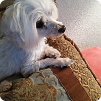 Adopt A Pet :: KB - Las Vegas, NV