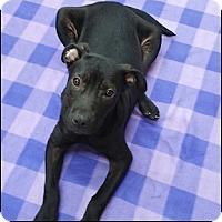 Pit Bull Terrier Mix Dog for adoption in Shreveport, Louisiana - Inky