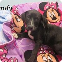 Adopt A Pet :: Brandy - Bartonsville, PA