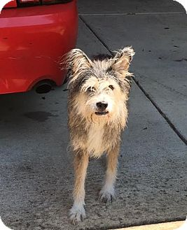 Schnauzer (Giant) Mix Dog for adoption in Memphis, Tennessee - Scooby