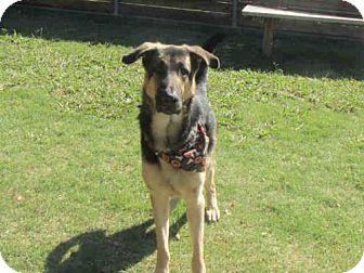 German Shepherd Dog Mix Dog for adoption in Plano, Texas - FALCON