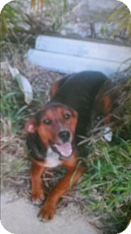 Black and Tan Coonhound Mix Dog for adoption in Boca Raton, Florida - buddy