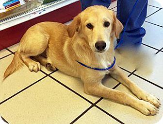 Golden Retriever Mix Puppy for adoption in BIRMINGHAM, Alabama - Fairy