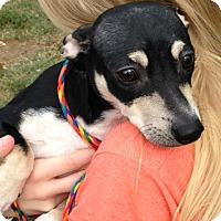 Adopt A Pet :: Tank - Cleveland, TN