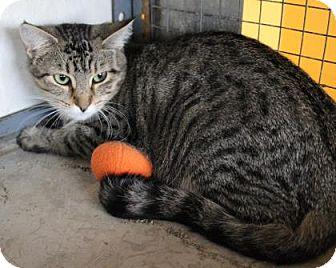 Domestic Shorthair Cat for adoption in West Des Moines, Iowa - Kiernan