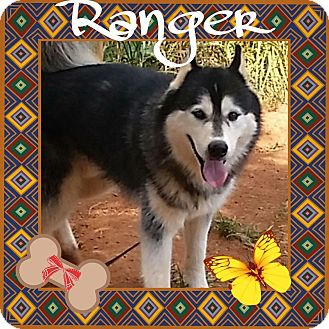 Siberian Husky Dog for adoption in Stuart, Virginia - Ranger