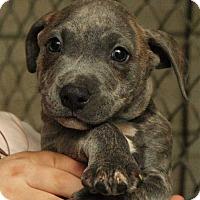 Adopt A Pet :: Carlin - Fort Madison, IA