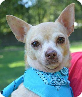 Chihuahua Dog for adoption in Lafayette, Louisiana - Sage