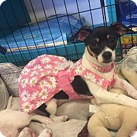 Adopt A Pet :: Ana - Brea, CA