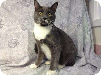 Domestic Shorthair Cat for adoption in Orlando, Florida - Steel