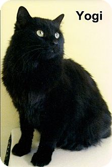 Domestic Longhair Cat for adoption in Medway, Massachusetts - Yogi