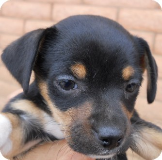 Jack Russell Terrier/Yorkie, Yorkshire Terrier Mix Puppy for adoption in dewey, Arizona - Rosie
