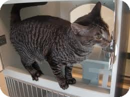 Domestic Shorthair Cat for adoption in Lancaster, Massachusetts - Tabitha