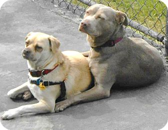 Pug/Weimaraner Mix Dog for adoption in Snohomish, Washington - Nelly and Ricky Amazing Pair!