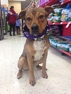 Shepherd (Unknown Type)/Pit Bull Terrier Mix Dog for adoption in East Rockaway, New York - Lentil