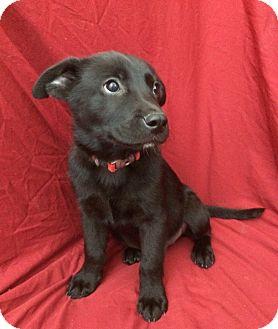 Labrador Retriever/Shepherd (Unknown Type) Mix Puppy for adoption in Bryan, Texas - Angus