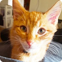 Domestic Shorthair Kitten for adoption in Arlington/Ft Worth, Texas - Gryff