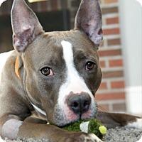 Adopt A Pet :: Stardust - Framingham, MA