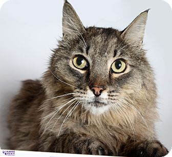 Domestic Shorthair Cat for adoption in Tucson, Arizona - TABS