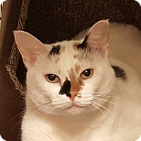 Domestic Shorthair Cat for adoption in Fairfax, Virginia - Sophie (front declawed)
