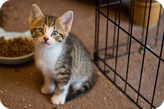 American Shorthair Kitten for adoption in Morgantown, West Virginia - Freddy