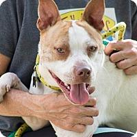 Terrier (Unknown Type, Medium)/Pharaoh Hound Mix Puppy for adoption in Cleveland, Ohio - Braven