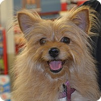 Pomeranian/Yorkie, Yorkshire Terrier Mix Dog for adoption in Lodi, California - Bunny