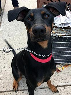 Doberman Pinscher Mix Dog for adoption in Fairfax Station, Virginia - Nucky