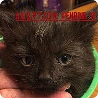 Adopt A Pet :: Roxie - Rochester Hills, MI