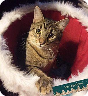 Domestic Shorthair Kitten for adoption in Columbus, Ohio - Winston
