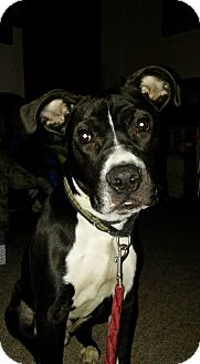 American Pit Bull Terrier Mix Puppy for adoption in West Allis, Wisconsin - Aslan