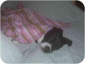 Boston Terrier/Rat Terrier Mix Dog for adoption in Houston, Texas - Baby
