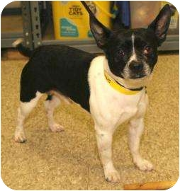 Playboy Adopted Dog 13887061 Munster In Boston Terrier Chihuahua Mix