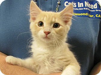 Domestic Mediumhair Kitten for adoption in Diamond Bar, California - GLIMMER