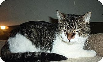 Domestic Shorthair Cat for adoption in Phoenix, Arizona - Cookie