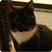 Domestic Shorthair Cat for adoption in Fayetteville, Arkansas - Clementine