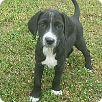 Adopt A Pet :: Griffin - Nashville, TN