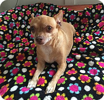 Chihuahua Mix Dog for adoption in North Hollywood, California - Diego
