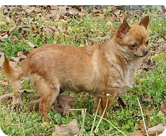 Overland Park Ks Chihuahua Meet Diva A Dog For Adoption